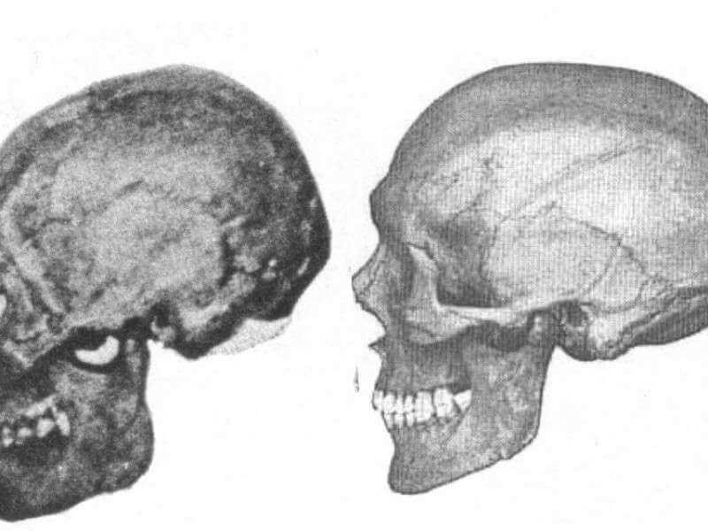 Allegewi corded skull